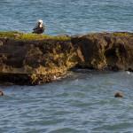 Pelikan (1 von 1)